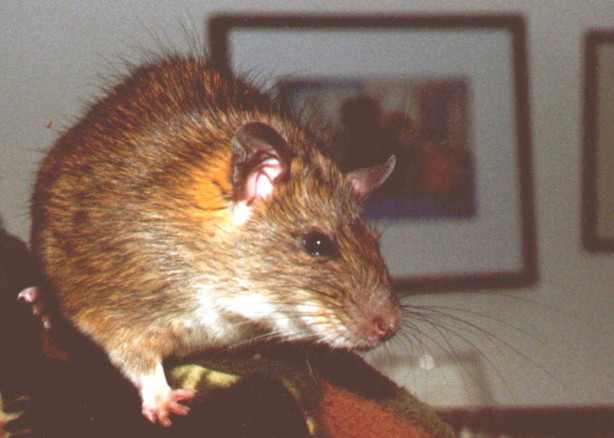 Ship Rat Gallery 1
