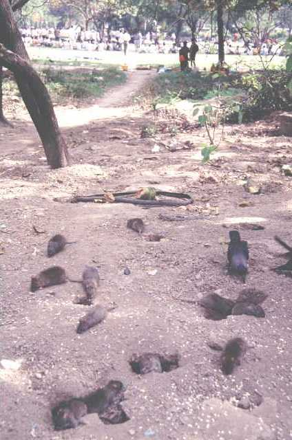 Several Norway rats and a crow rummaging about among burrows in dappled